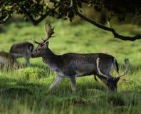 一个小组幼小鹿在森林 免版税库存图片