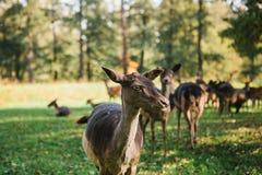 一个小组幼小鹿通过一个温暖的绿色晴朗的草甸走在森林里在树旁边 在自然的一头幼小鹿 库存照片