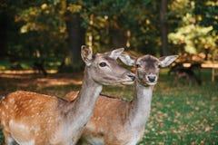 一个小组幼小鹿通过一个温暖的绿色晴朗的草甸走在森林里在树旁边 滑稽的动物 库存照片