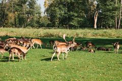 一个小组幼小鹿通过一个温暖的绿色晴朗的草甸走在森林里在树旁边 免版税图库摄影