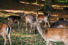一个小组幼小鹿通过一个温暖的绿色晴朗的草甸走在森林里在树旁边 免版税库存图片