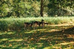 一个小组幼小鹿通过一个温暖的绿色晴朗的草甸走在森林里在树旁边 图库摄影
