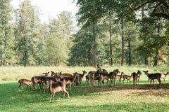 一个小组幼小鹿通过一个温暖的绿色晴朗的草甸走在森林里在树旁边 免版税库存照片