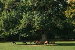 一个小组幼小鹿通过一个温暖的绿色晴朗的草甸走在森林里在树旁边 库存照片