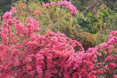 一个小组明亮的红色九重葛花 库存图片
