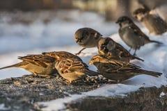 一个小组灰色和棕色麻雀坐与白雪的灰色凝结面并且吃鸟饵在冬天 库存图片