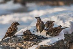 一个小组灰色和棕色麻雀坐与白雪的灰色凝结面并且吃鸟饵在冬天 免版税库存图片