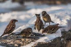 一个小组灰色和棕色麻雀坐与白雪的灰色凝结面并且吃鸟饵在冬天 免版税图库摄影