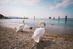 一个小组白色天鹅和鸭子在海滩在意大利 库存图片