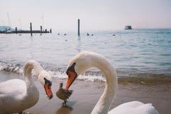 一个小组白色天鹅和鸭子在海滩在意大利 免版税图库摄影