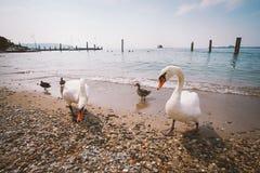 一个小组白色天鹅和鸭子在海滩在意大利 库存照片