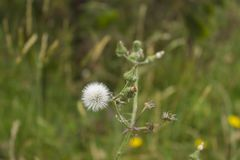 一个小组白色蒲公英花卉生长 库存照片