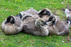一个小组的特写镜头少年加拿大鹅挤作一团 库存照片