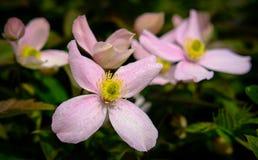 一个小组的特写镜头精美,桃红色花,被看见在一场暴雨以后,与在瓣的那里水滴 免版税库存照片