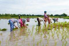 一个小组米农夫在领域工作在柬埔寨 免版税库存照片