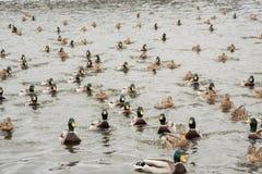 一个小组美丽的棕色鸭子和雄鸭在河游泳 图库摄影