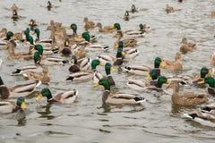 一个小组美丽的棕色鸭子和雄鸭在河游泳 免版税库存照片