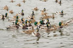 一个小组美丽的棕色鸭子和雄鸭在河游泳 库存图片