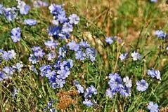 一个小组胡麻集合蓝色开花在草甸的 免版税图库摄影