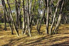 一个小组苗条树在森林里 库存图片