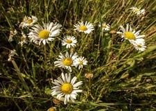 一个小组雏菊在草甸 免版税库存图片