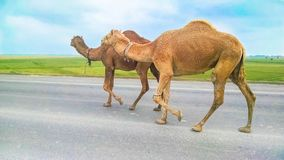 一个小组骆驼走在高速公路的,路 库存照片
