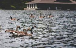 一个小组鹅和他们的幼鹅在湖 免版税库存图片
