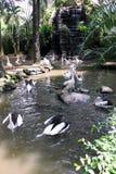 一个小组鹈鹕在巴厘岛飞禽公园 免版税图库摄影