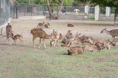 一个小组鹿在动物园里 库存照片