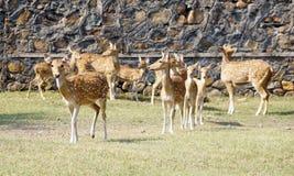 一个小组Chitals/在动物园里察觉了dears 免版税库存图片