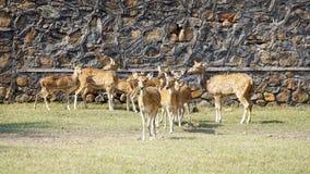 一个小组Chitals/在动物园里察觉了dears 免版税图库摄影