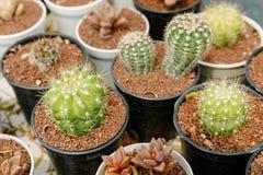 一个小罐的矮小的仙人掌植物 图库摄影