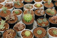 一个小罐的矮小的仙人掌植物 库存照片