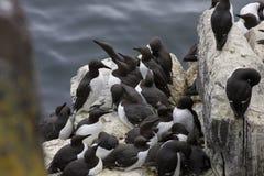 一个小组共同的海雀科的鸟& x28; murres& x29; 尿aalge,在一个岩石在苏格兰 免版税库存图片