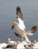 一个小组北gannet 免版税库存图片