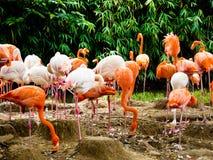 一个小组在上海野生动物公园的桃红色火鸟 免版税库存图片