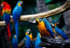 一个小组在小雨期间的鹦鹉 库存图片