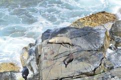 一个小组在岩石的海狮 免版税库存图片