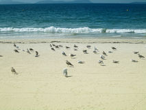 一个小组在海滩的海鸥 库存图片