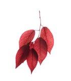 一个小组在白色背景隔绝的红色叶子 五颜六色和新鲜的叶子分支  花卉装饰的红色叶子 免版税库存照片