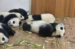 一个小组大熊猫在屋子采取休息里! 库存照片