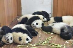 一个小组大熊猫在屋子采取休息里! 图库摄影