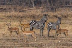 一个小组斑马和羚羊 库存图片