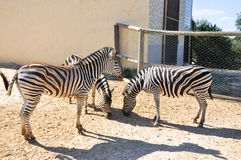 一个小组斑马在Friguia野生动物园。Hammamet,突尼斯。 库存图片