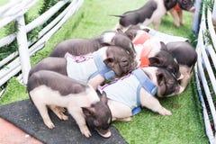 一个小组新出生的小猪 免版税库存图片