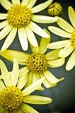 一个小组明亮的黄色山金车 免版税库存照片
