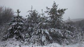 一个小组杉树在冬天森林里 免版税库存照片