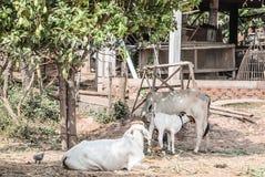 一个小组母牛 免版税库存照片