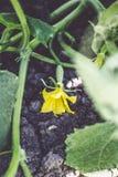 一个小黄瓜卵巢和一朵黄色花在地面上的一个菜园里 特写镜头 库存图片