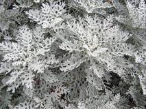 一个小组白色瓜叶菊 图库摄影